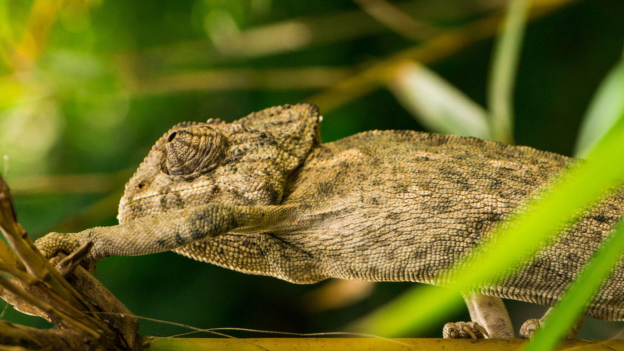 Photograph Chameleon - 4 by Amine Fassi on 500px