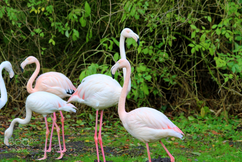 Photograph Flamingos by Marion Doescher on 500px