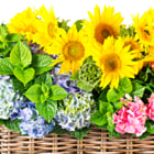 colorful sunflowers and hortensia