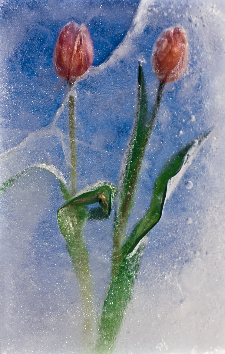 Photograph Frozen Tulips by Sten Wiklund on 500px