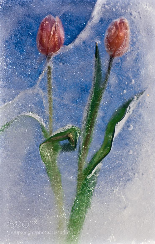 Photograph Frozen Tulips by Sten Wiklund on 500px