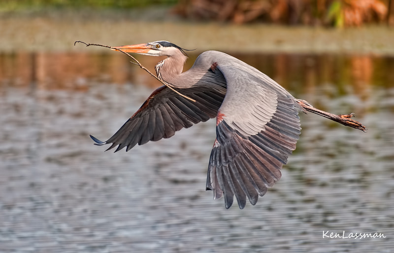Photograph Great Blue Heron with nesting material by Ken  Lassman on 500px