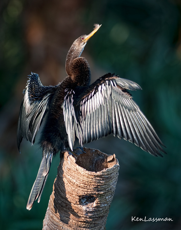 Photograph Drying Out...Anhinga by Ken  Lassman on 500px
