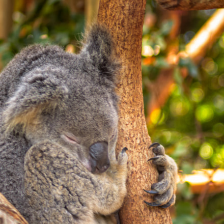 Koala Sleeping On A Branch