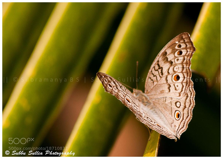 Photograph Gray Pansy or Grey Pansy (Junonia atlites) by Subbu Sullia's Frozen Moments on 500px