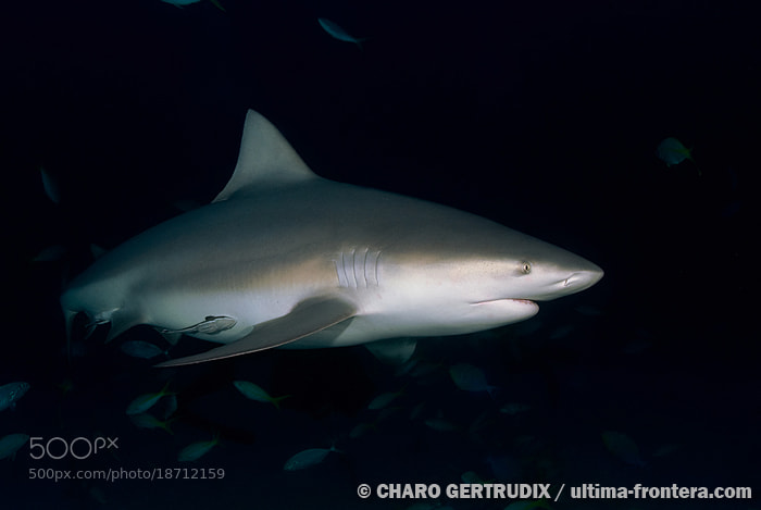Photograph Bull shark by Charo Gertrudix on 500px