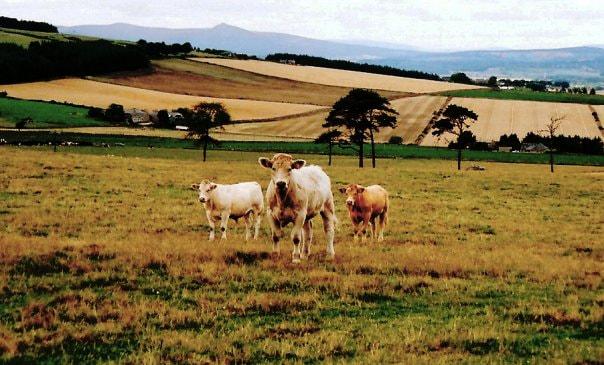 Photograph Bennachie Cows by Colin Bruce on 500px