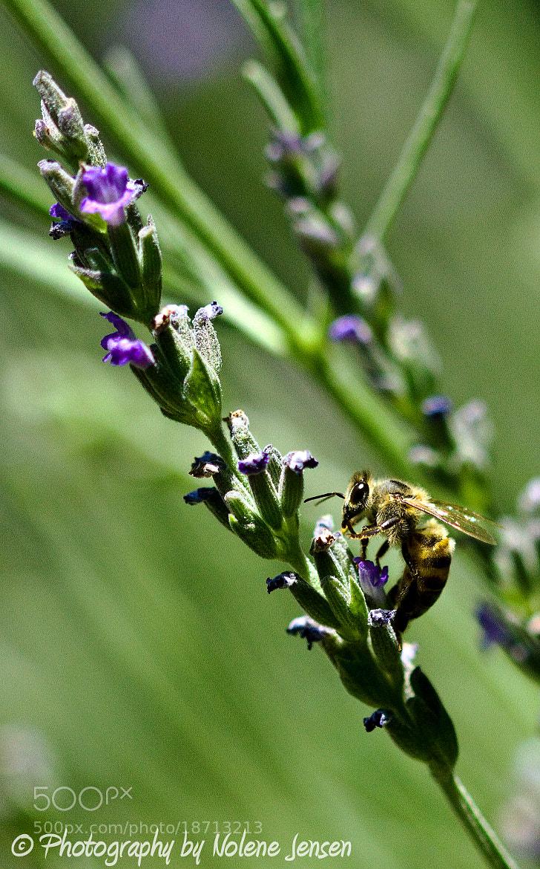 Photograph Lavender Bee - Portrait by Nolene Jensen on 500px