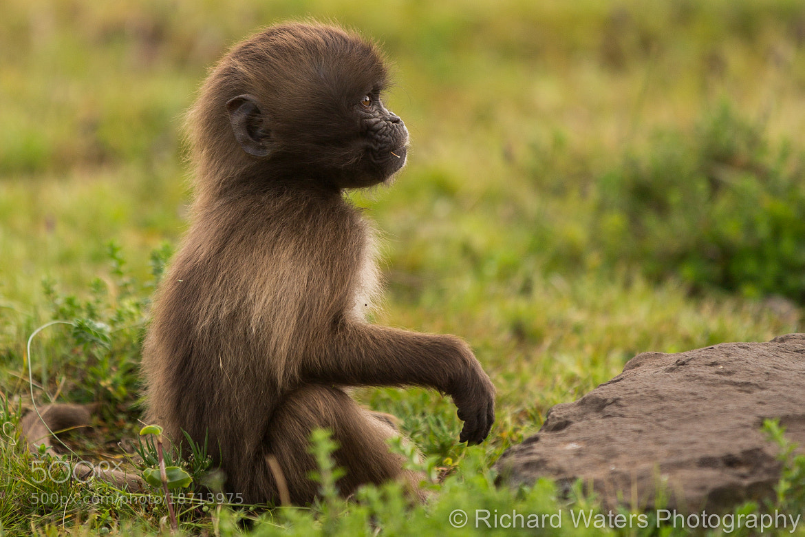 Photograph Baby Gelada Baboon by Richard Waters on 500px