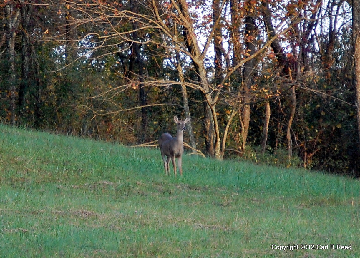 Photograph deer 2415 by Carl Reed on 500px