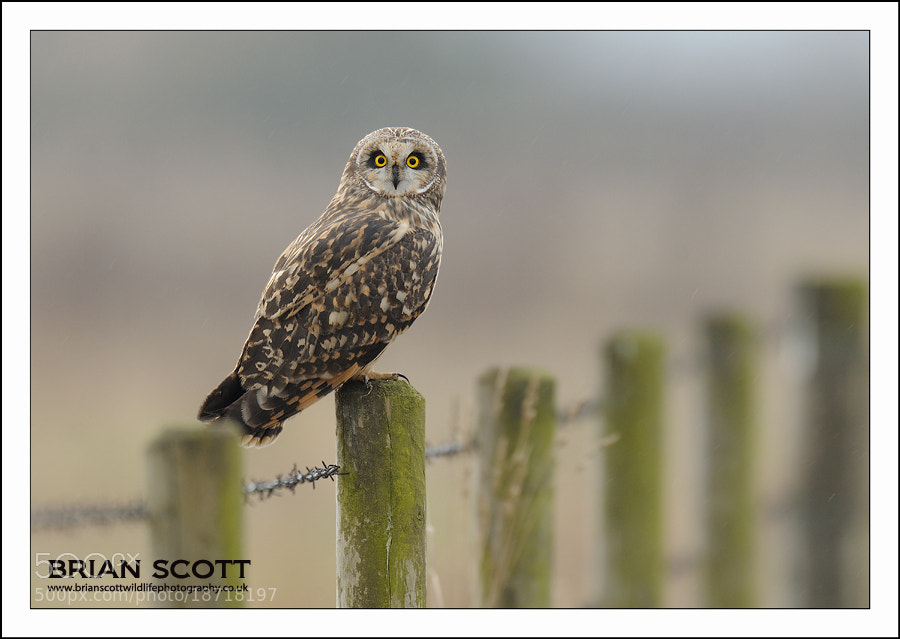 Photograph  Short-eared Owl  by Brian Scott on 500px