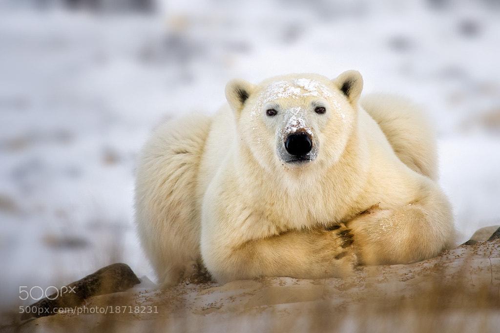 Photograph Polar Bear Taking A Break by Steve Perry on 500px