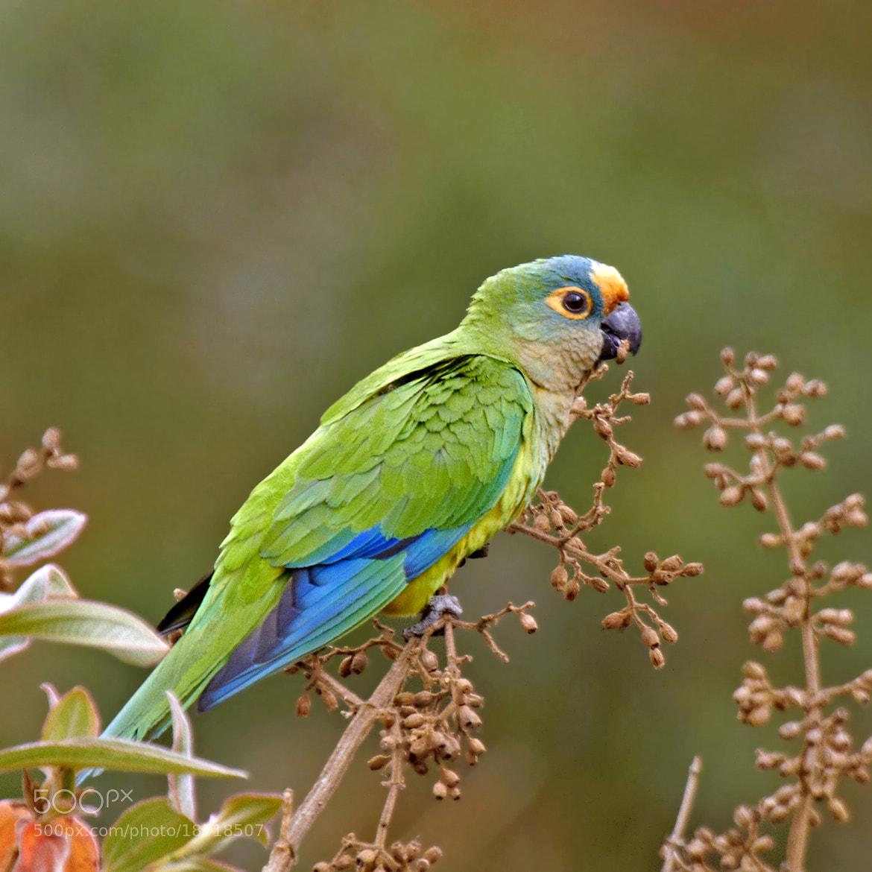 Photograph periquito-rei (Aratinga aurea) Peach-fronted Parakeet by Claudio Lopes on 500px