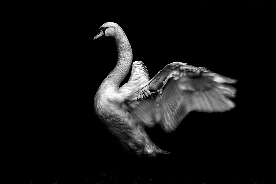 Photograph Like a swan by Piero Imperiale on 500px