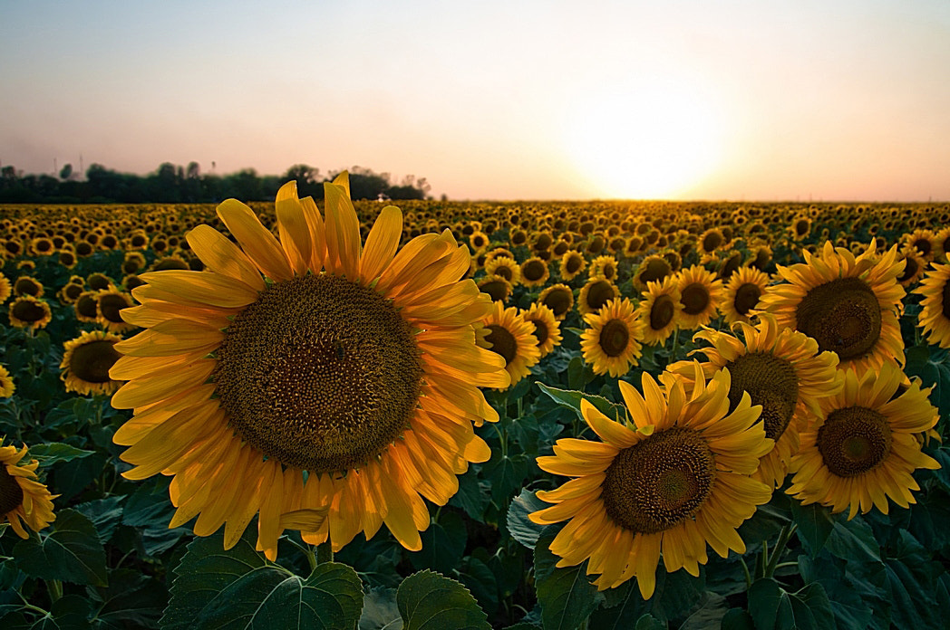 Photograph Sunflowers by Anton Pavlyukov on 500px