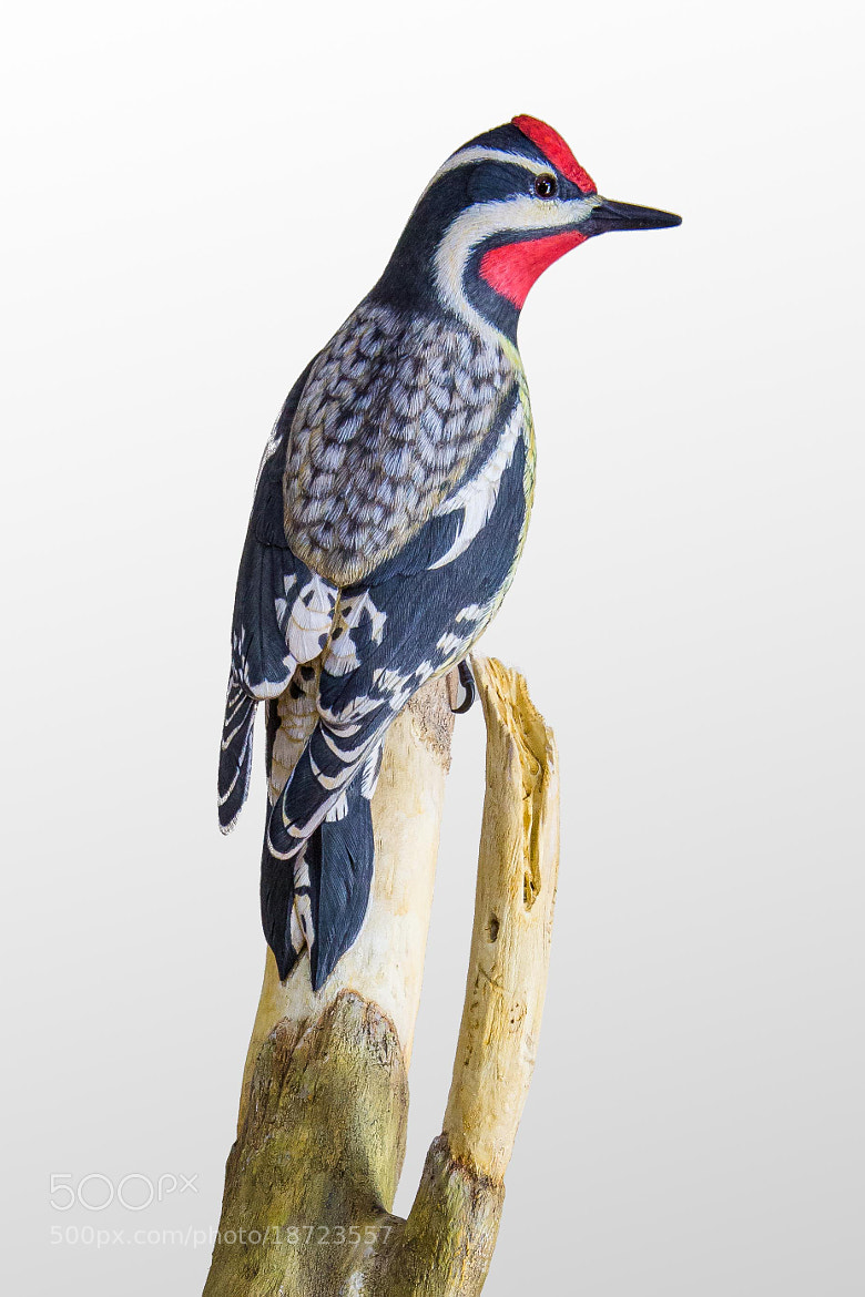 Photograph Woodpecker by George Bloise on 500px