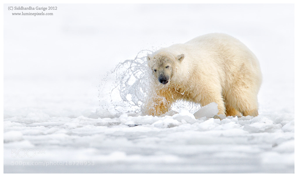 Photograph Ice Bears of Arctic - 7 by Siddhardha Garige on 500px