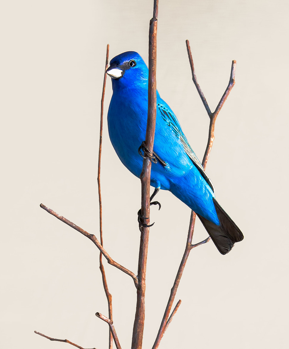 Photograph Azul -Indigo Bunting by George Bloise on 500px