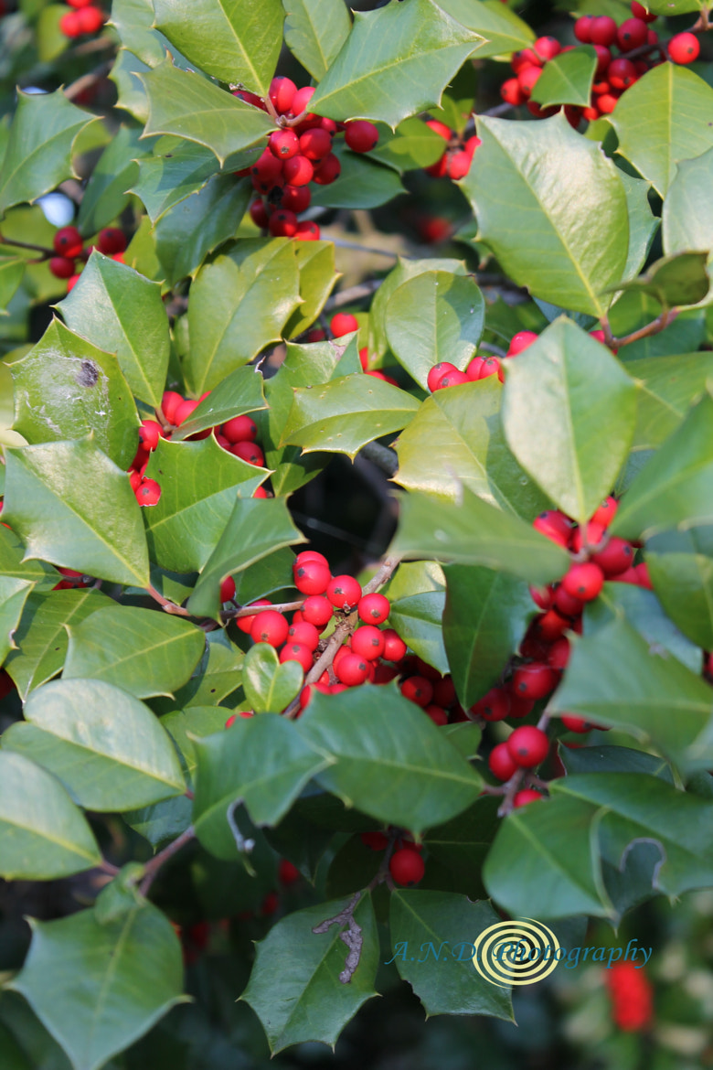 Photograph Holly Berries by Alissa Dorough on 500px