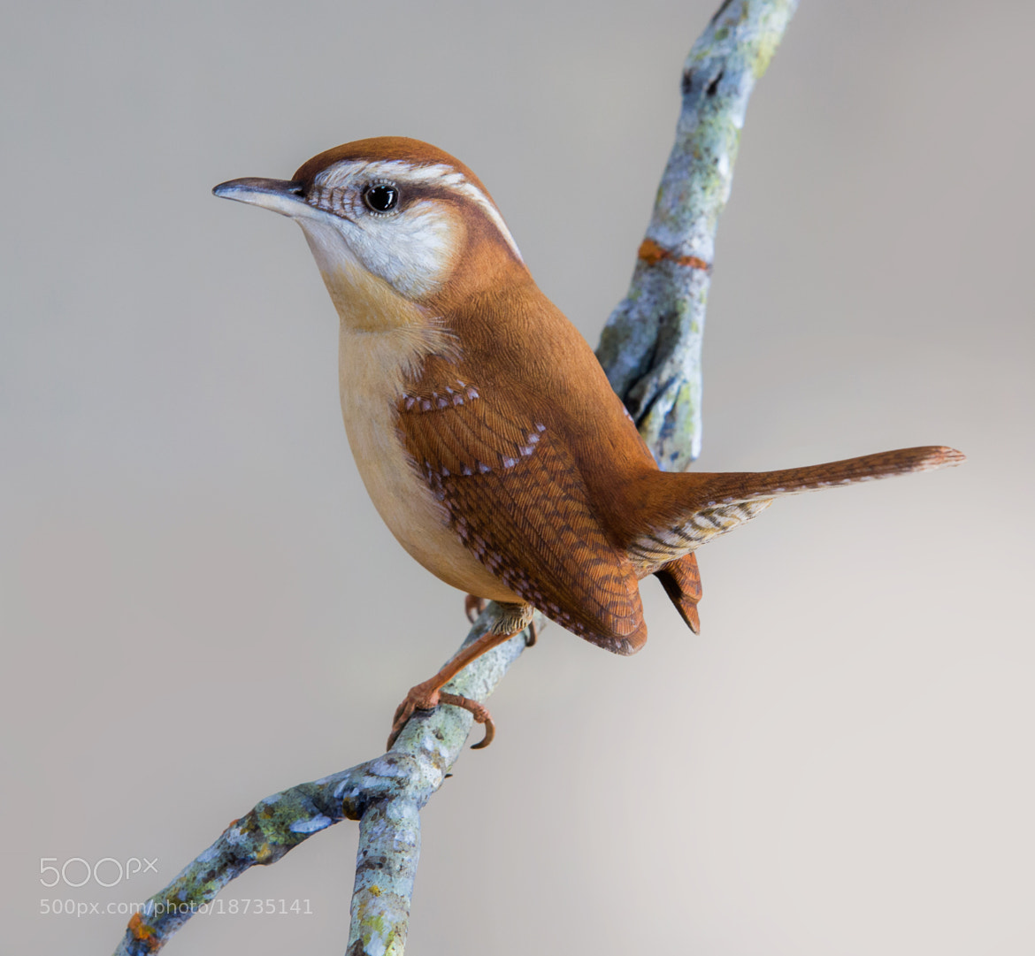Photograph Carolina Wren by George Bloise on 500px
