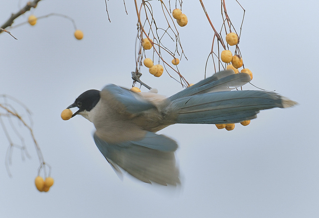 Photograph Azure-winged Magpie by Ben Choong on 500px