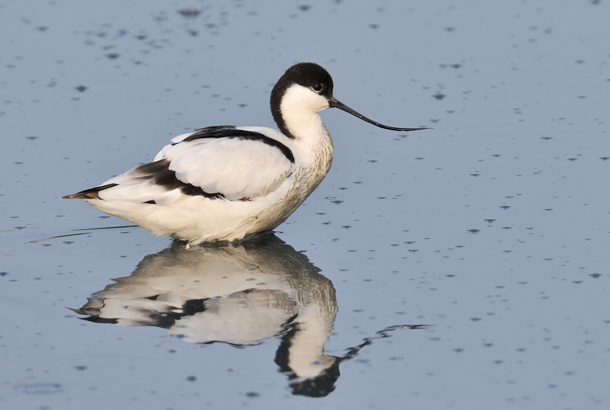 Photograph Pied Avocet by Ben Choong on 500px