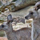 The Mareeba rock-wallaby varies, from almost black to grey-brown to light brown. It has lighter underparts, and side of face. The tail is usually dark brown or black at tip. The darker ones tend to live where the natural rock is darker
