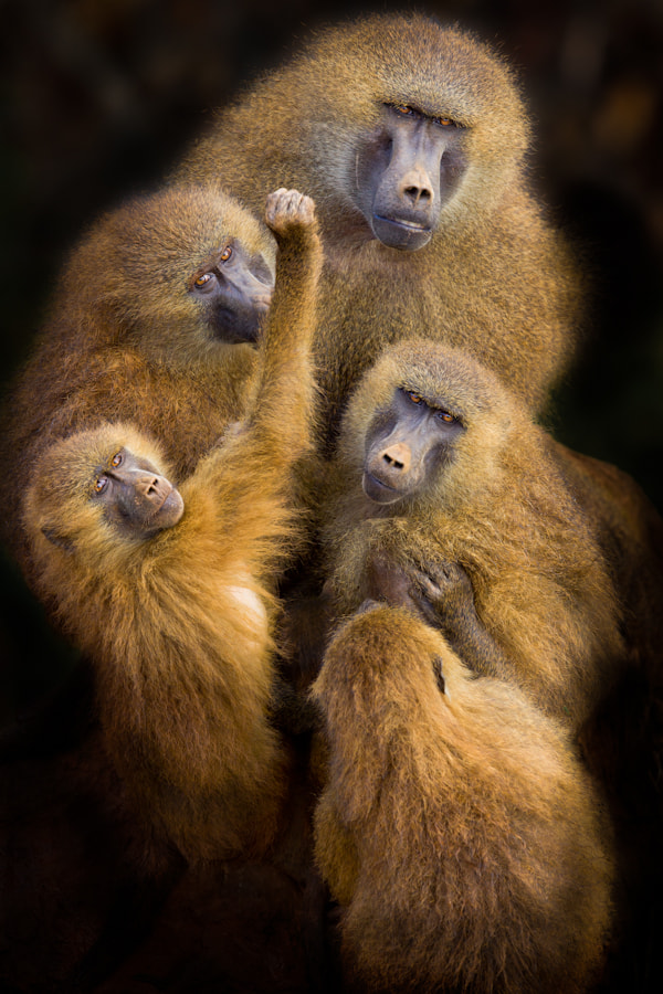"Photograph Baboons "" United "" by Mario Moreno on 500px"