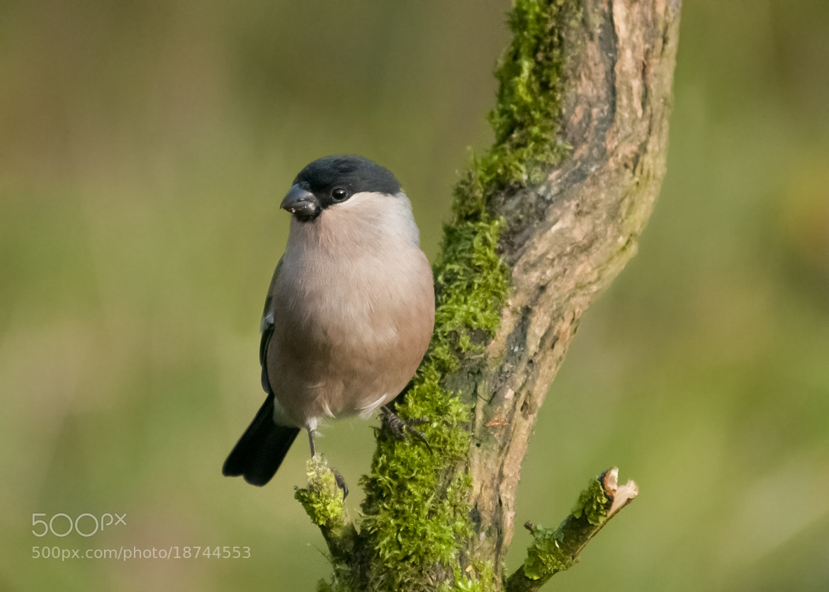 Photograph Lady Bullfinch by Chrissy Stone on 500px