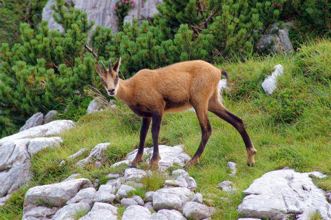 Photograph Chamois by Edvard - Badri Storman on 500px