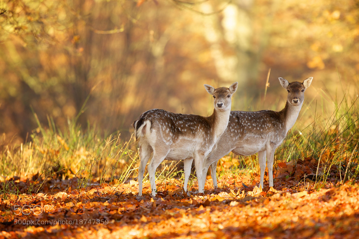 Photograph couple of old deers... by Mark Bridger on 500px