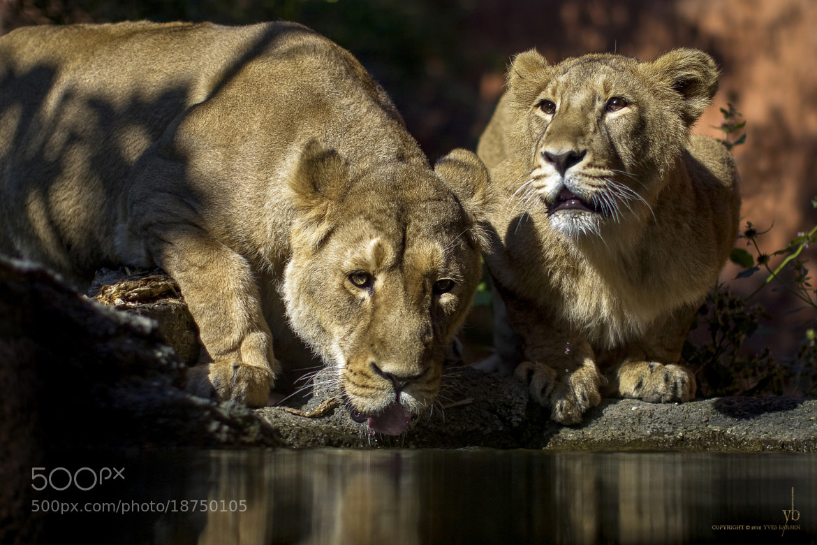Photograph lions and water by y b on 500px