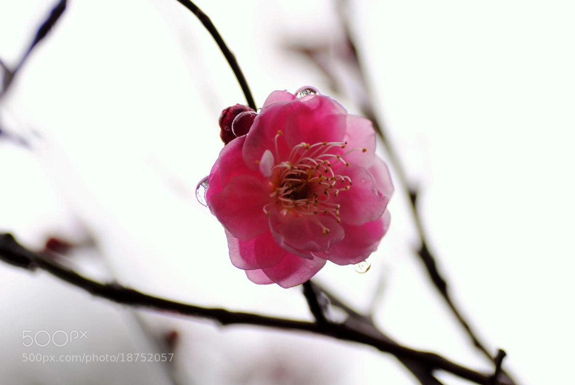 Photograph Pink sakura by Chu San on 500px