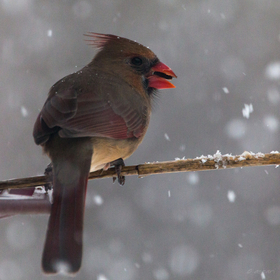 Northern Cardinal by Hari on 500px.com