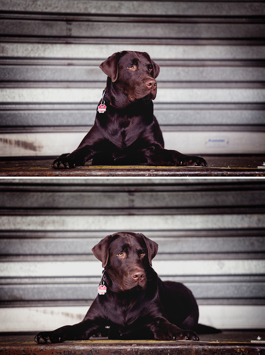 Photograph Portrait Labrador by Ewelina Zurel on 500px