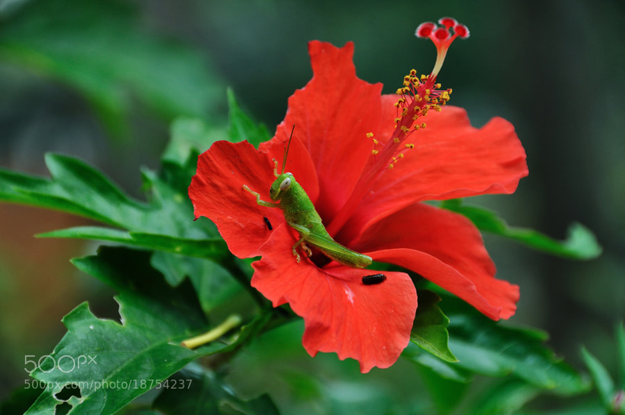 Photograph Grasshopper n Hibiscus by Khoo Boo Chuan on 500px