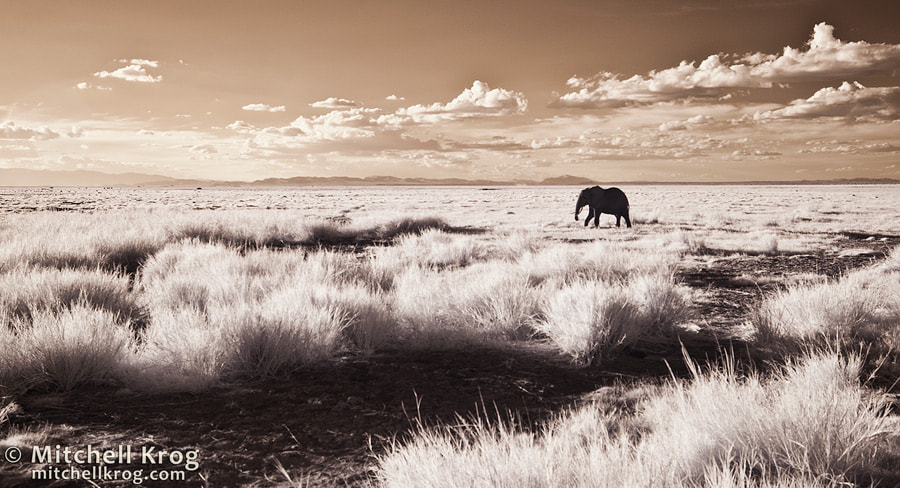 Photograph Lonesome Traveler / Elephant at Amboseli by Mitchell Krog on 500px