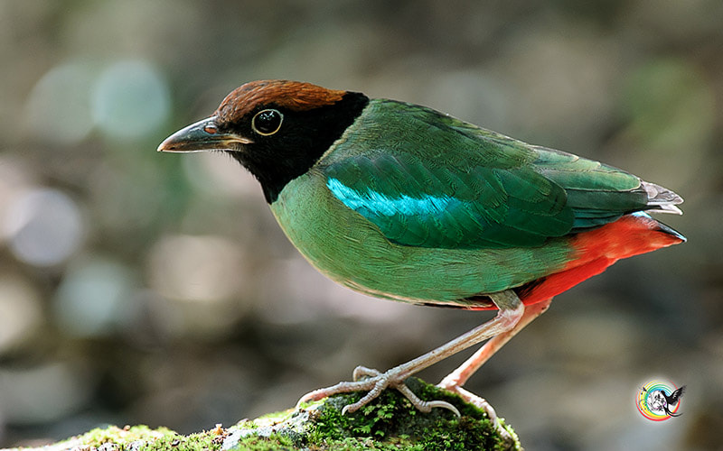 Photograph Hooded Pitta by Andy Fu on 500px