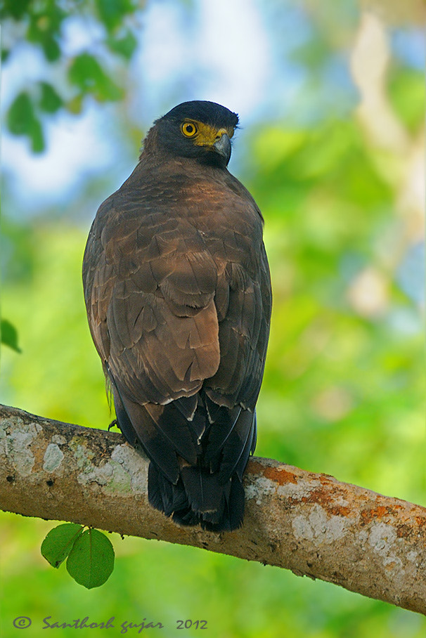 Photograph Crested Serpent Eagle. by Santhosh Gujar on 500px