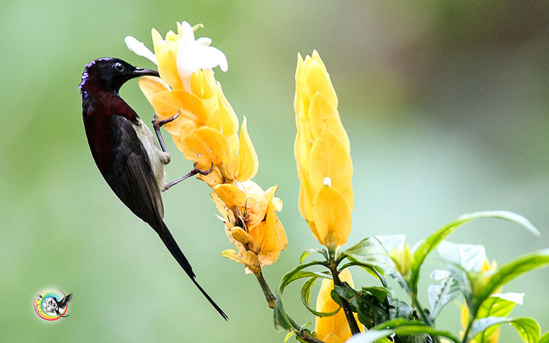 Photograph Black-Throated Sunbird by Andy Fu on 500px