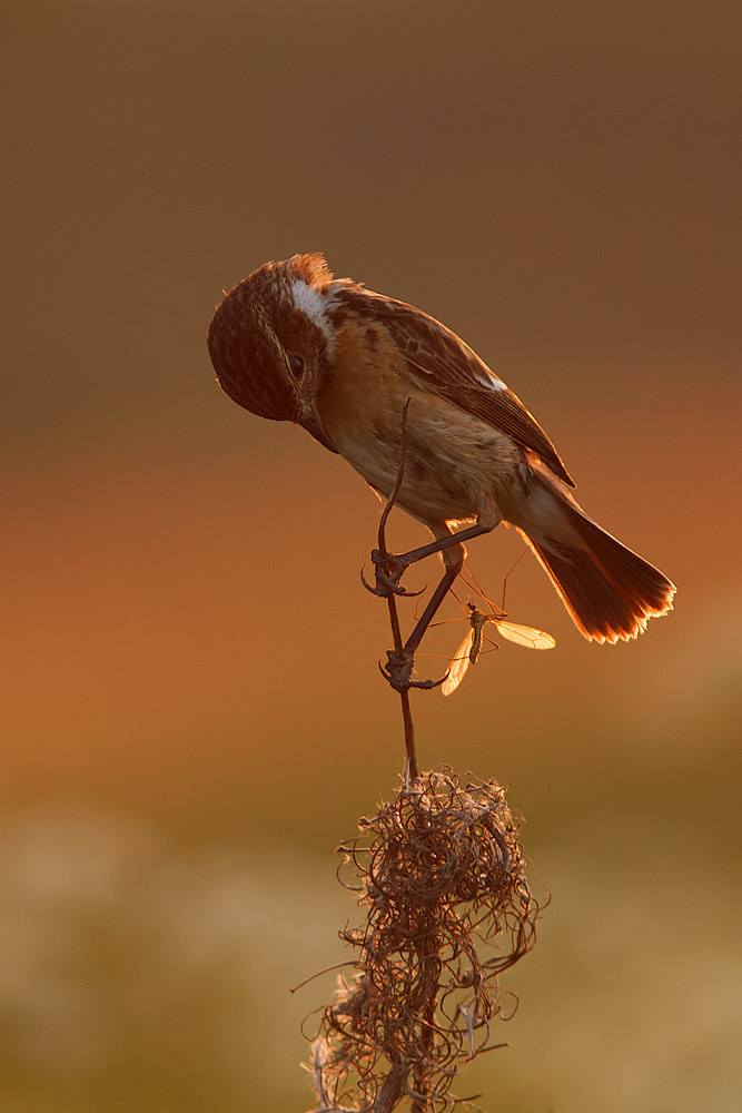 Photograph European Stonechat vs Cranefly by Tom  Kruissink on 500px
