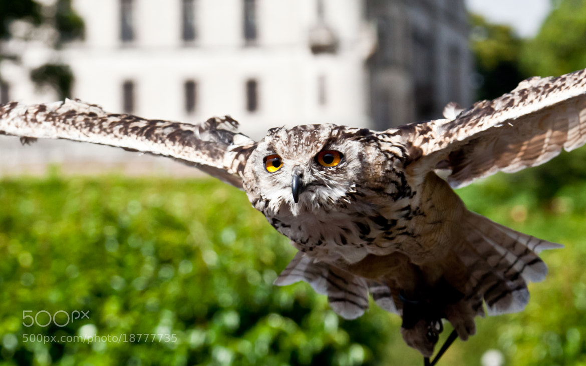 Photograph Eagle Owl flying by Marco Mechi on 500px