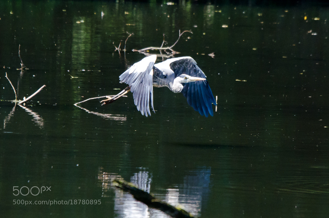 Photograph Heron in flight by Carsten Welzel on 500px