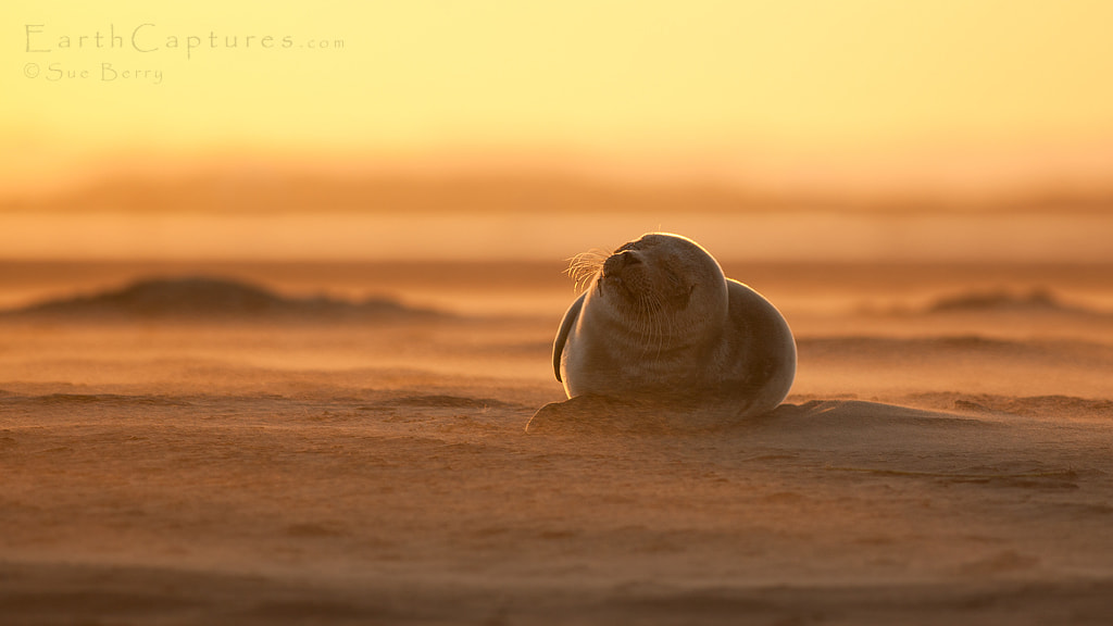 Photograph Seal at sunset by Sue Berry on 500px