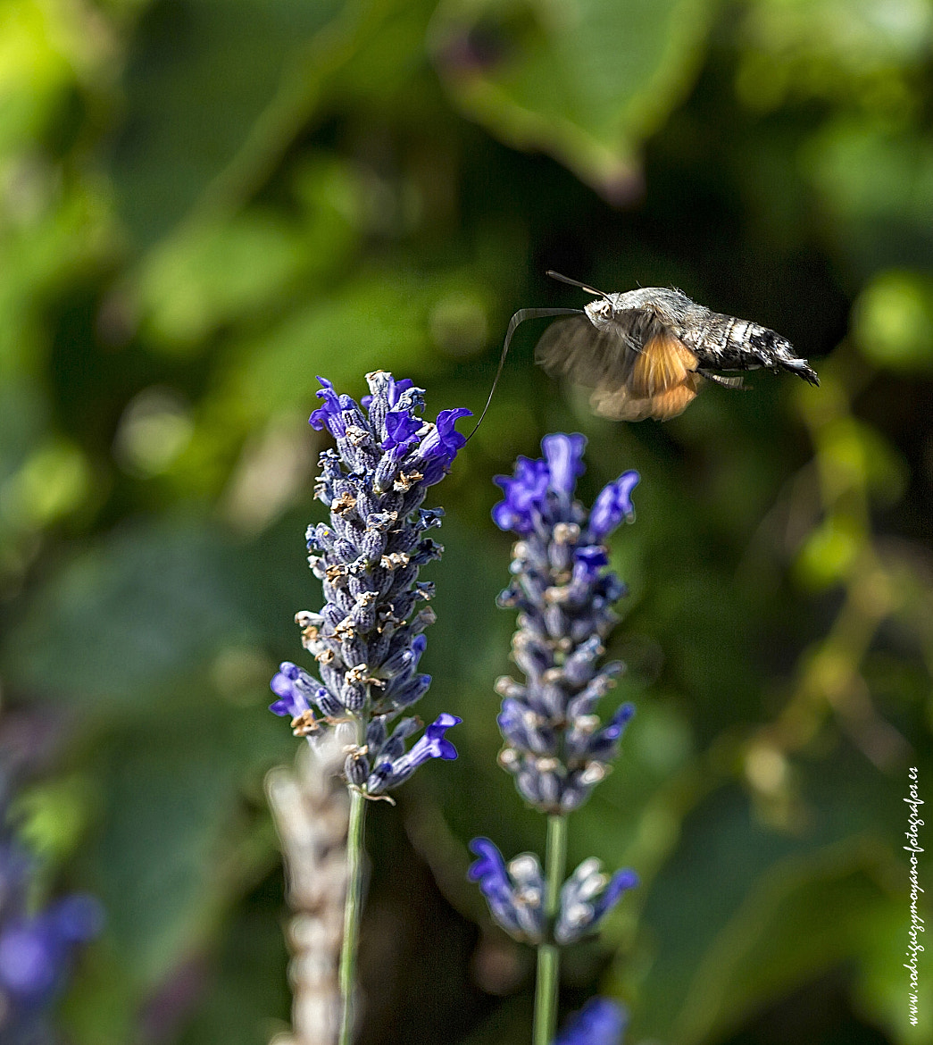 Photograph ESFINGE COLIBRI ( Macroglossum Stellatarum) by Luis Rguez on 500px