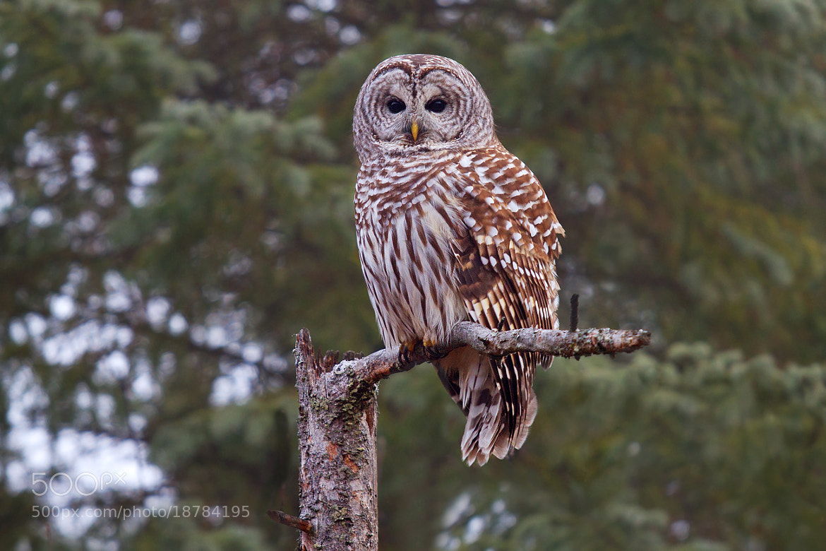 Photograph Barred Owl 3 by Jim Cumming on 500px