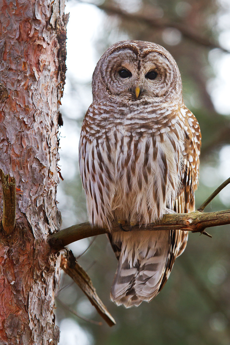 Photograph Barred Owl 5 by Jim Cumming on 500px