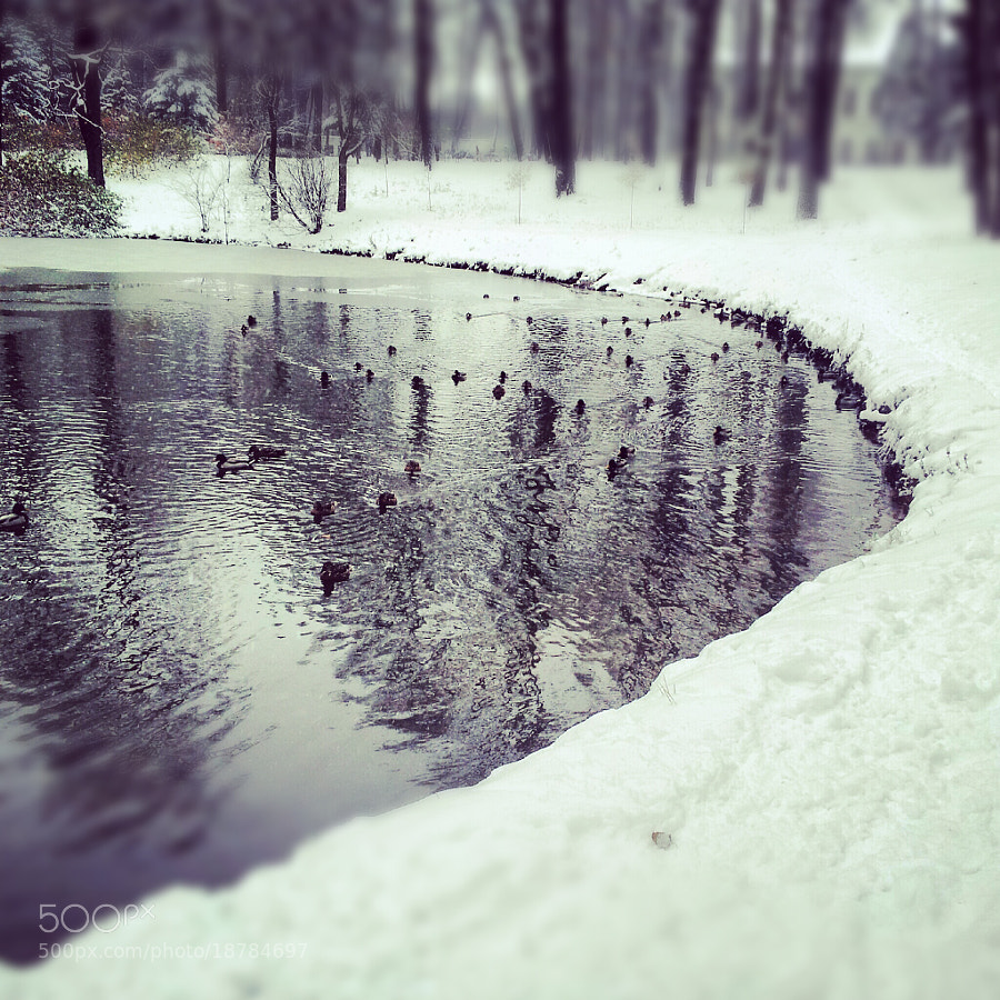 Photograph ducks by Константин  Хохлома on 500px