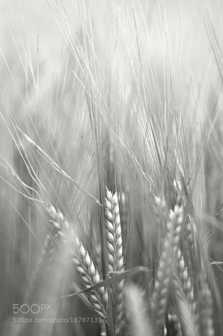 Photograph Barley Infrared Macro by Jack Breadmore on 500px