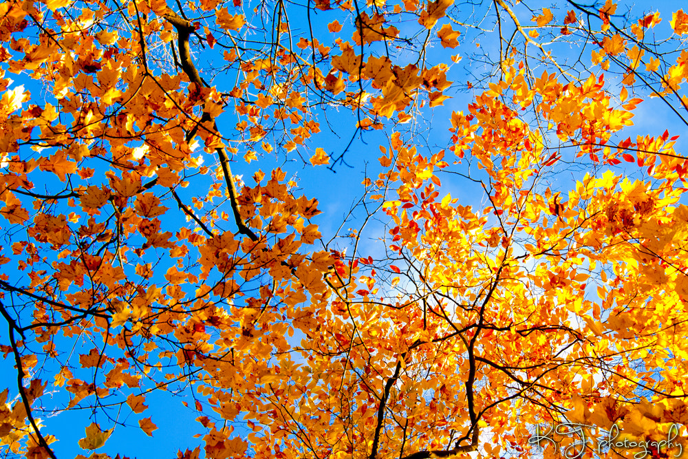 Photograph Autumn Trees. by Kaity Theriault on 500px